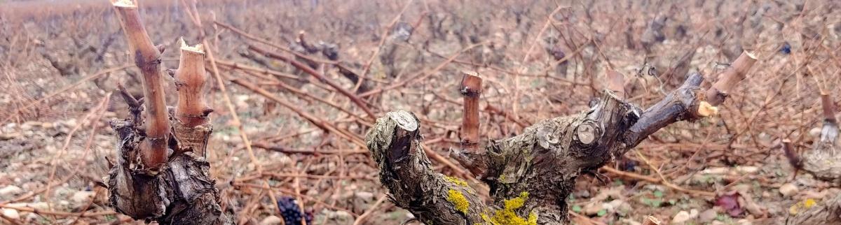Poda de invierno en el viñedo riojano
