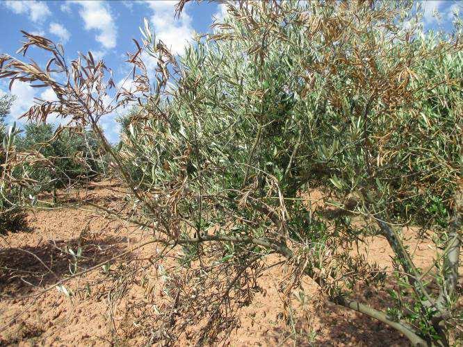 Rama olivo infectada por verticilosis