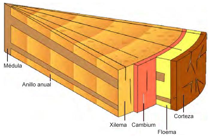 Detalle sección de rama de la vid / injerto