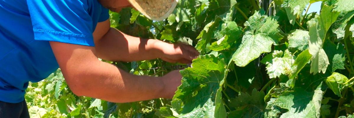 El desniete en el viñedo de la Rioja