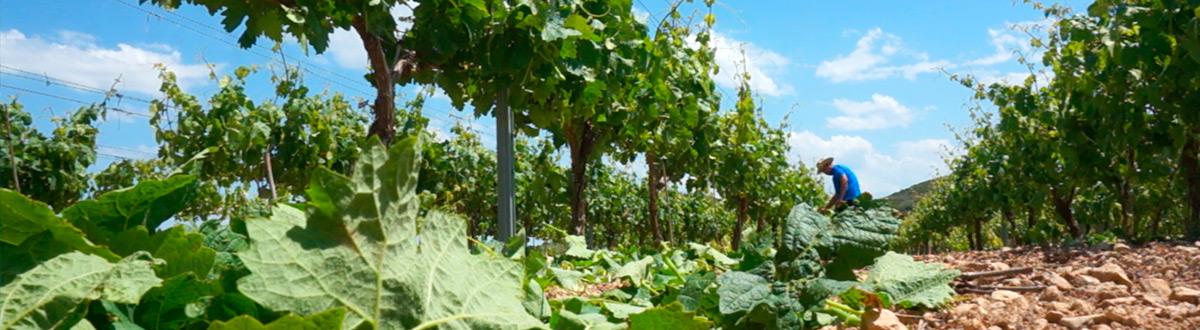 Desniete en el viñedo de La Rioja
