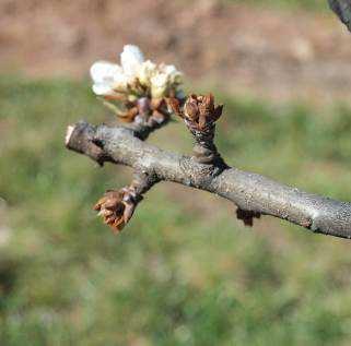 Síntomas en flor de árbol afectado por fuego bacteriano el año anterior