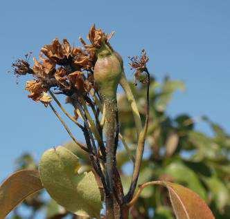 síntomas en flor de una infección en el momento de la floración