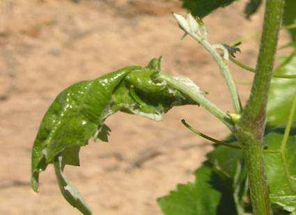 Larva y daños de piral en hoja de vid.