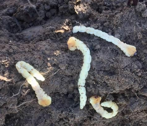 Larvas de gusano cabezudo