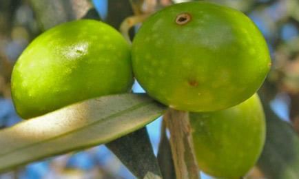 Agujeros de picada (abajo) y salida de mosca (arriba) en una oliva