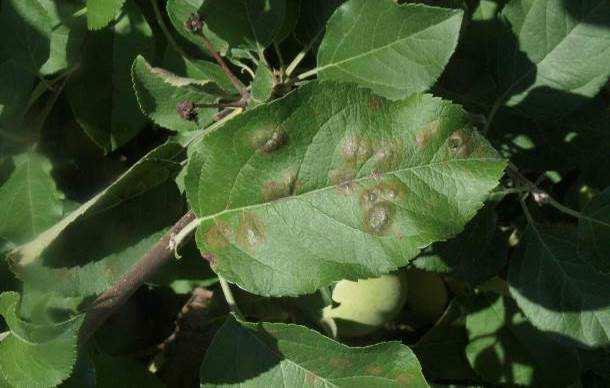 Síntomas de moteado en hoja de manzano