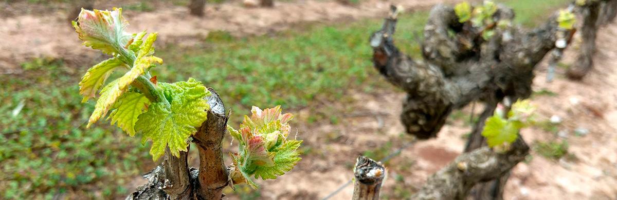 Brotes de 10 cm. Abonado para viñedo.