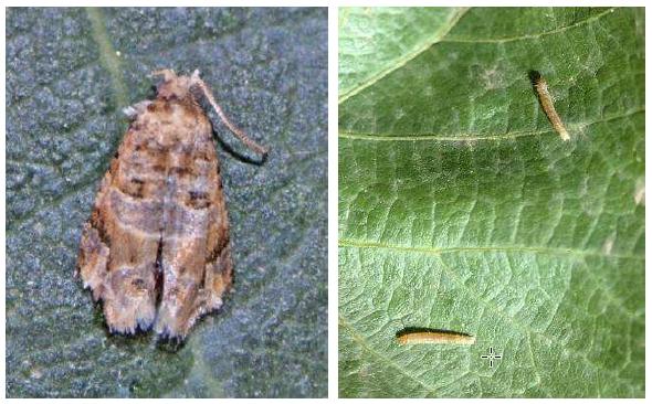 Adulto (izquierda) y larvas (derecha) de polilla del racimo