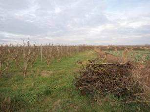 Restos de ramas afectadas sin quemar