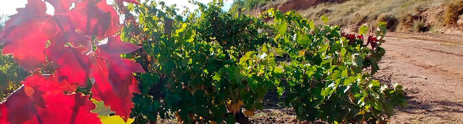 Proteje tu viñedo de las enfermedades de la madera de la vid (EMV)