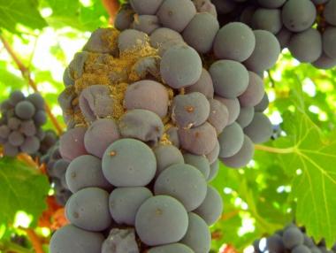 Botritis en racimo de uva