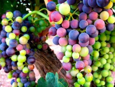 Detalle del envero en viñedo riojano