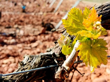Brotación en el viñedo: Hojas extendidas y racimos visibles