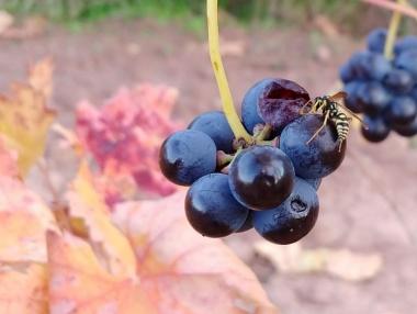 Detalle de uvas