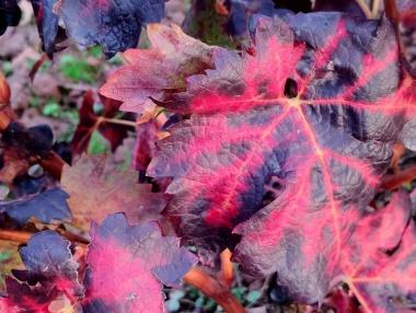 El viñedo en La Rioja