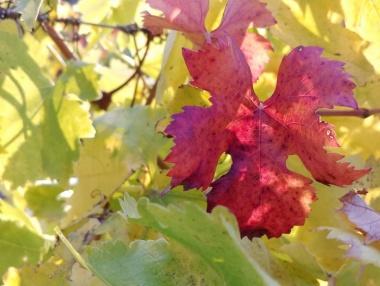 El contraste de colores del viñedo