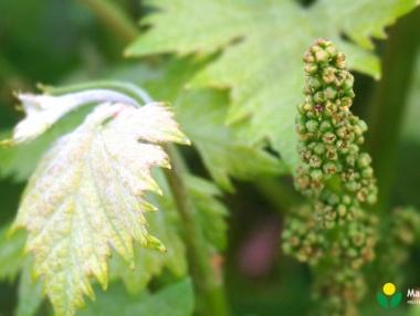 I1 - Inicio de floración
