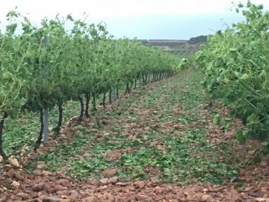 Efectos de la granizada en viñedos de El Villar de Arnedo