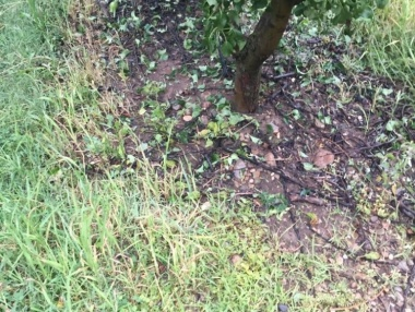 El peral de Calahorra ha resultado afectado por el granizo