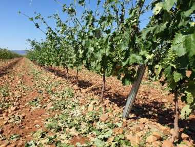 Situación de los viñedos a dos días de la granizada