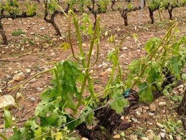 Viñedos después de una granizada en la zona de Préjano y Herce (La Rioja)