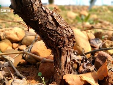 Injerto en viñedo de La Rioja 03