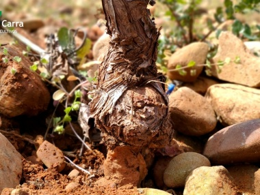 Injerto en viñedo de La Rioja 04