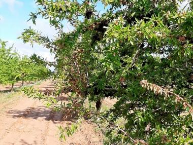 Ataque de monilia intenso en los almendros de Rioja Baja y Valle del Ebro