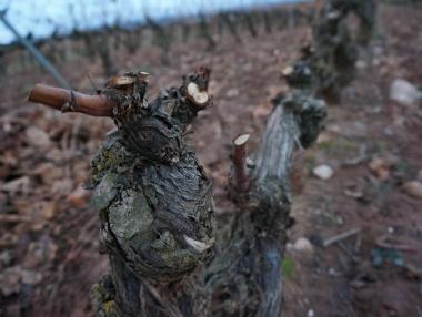 La poda del viñedo en invierno