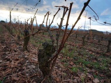 Ejemplo de prepoda del viñedo