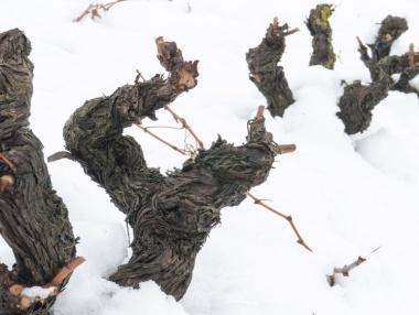 Viñedo podado de Rioja alta