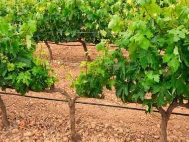 Virus del Pinot Gris en La Rioja