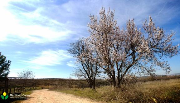 El Almendro   La floración de los almendros en La Rioja