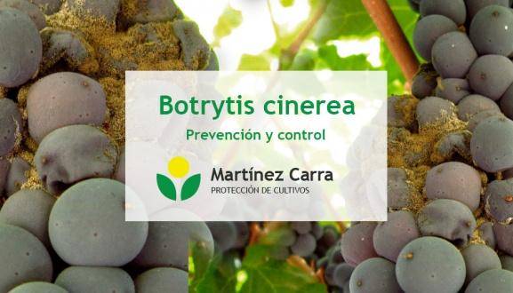 La botritis de la vid o podredumbre gris. Síntomas y control en viñedos