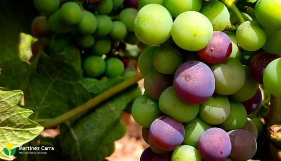 El envero en La Rioja