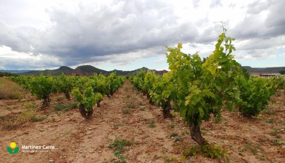 El viñedo Riojano, entre las fases de compactación de racimo e inicio del envero