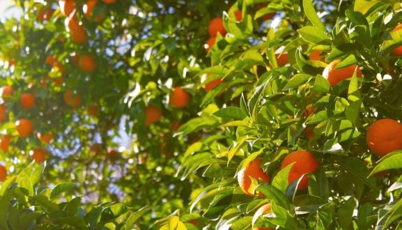 Importaciones de cítricos de Sudáfrica con fitosanitarios prohibidos en la UE