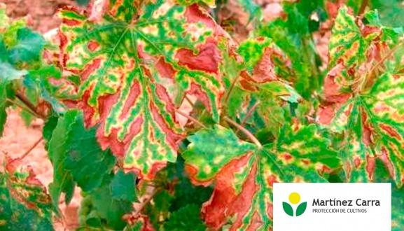 proteger tu viñedo de las enfermedades de madera de la vid (EMV).