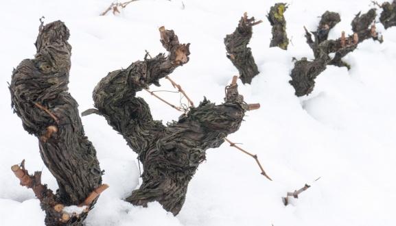 Beneficios de la nieve en el viñedo