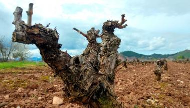 ¿Cómo alargar la vida de los viñedos?