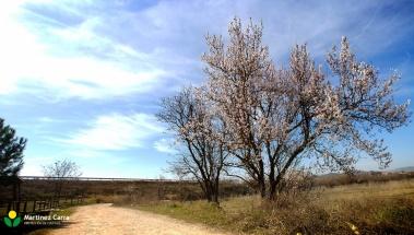 El Almendro | La floración de los almendros en La Rioja