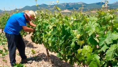 Desniete en el viñedo riojano. Operaciones en verde