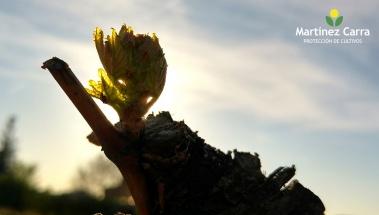 La vid comienza a brotar en La Rioja Alta