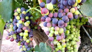 El envero en la uva, la fase de la cuenta atrás para la vendimia.