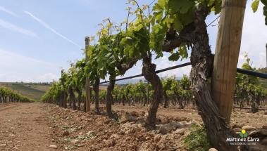 La escarda o espergura en el viñedo riojano
