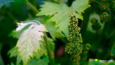 Riesgo de mildiu en el viñedo riojano. Situación actual