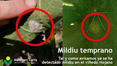 Presencia de mildiu muy temprana en el viñedo riojano