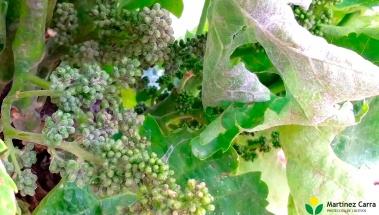 Oídio en el viñedo, detectados primeros brotes en la variedad mazuelo
