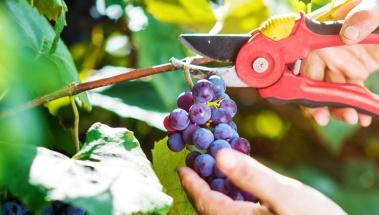 La vendimia en Rioja podría adelantarse dos semanas r